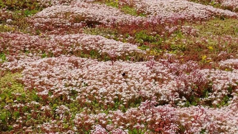 Flowering_Sedum_Album_S.jpg