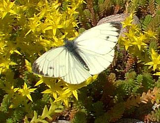 butterfly_visiting_sedum_acre_on_sedum_extensive_roof.jpg