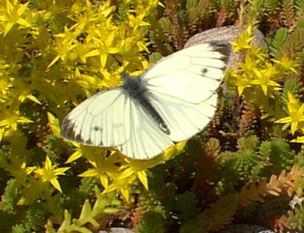butterfly_visiting_sedum_acre_on_sedum_extensive_roof