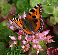 butterfly_visiting_sedum_acre_on_sedum_extensive_roof_2.jpg